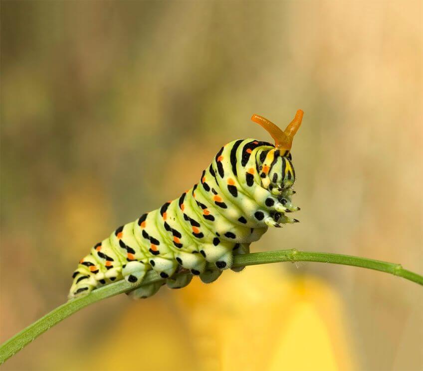 Chenille de papillon machaon sur une tige