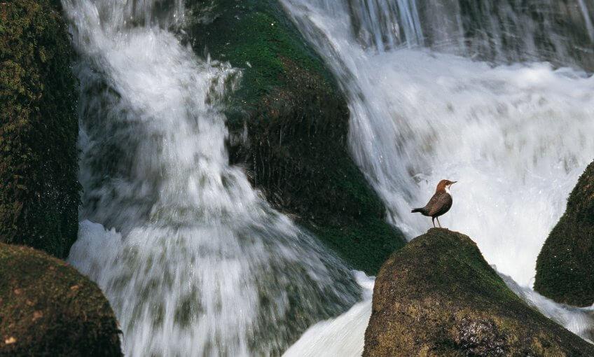 Cincle devant des chutes d'eau
