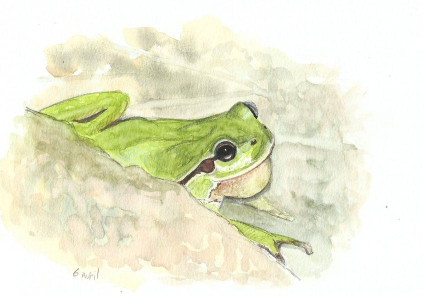 La cacophonie de la rainette - La Salamandre