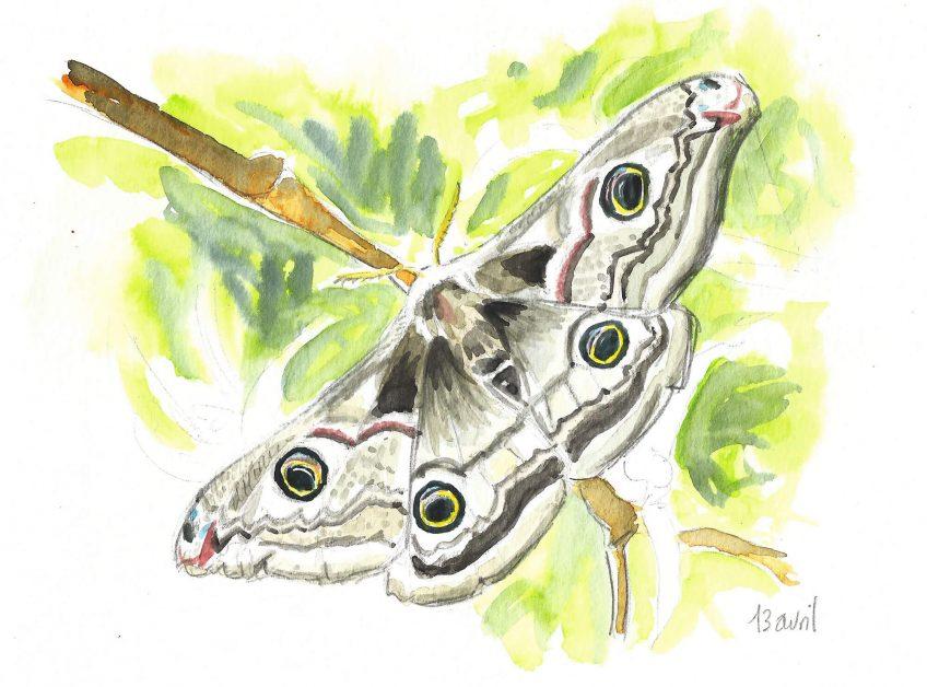 Une semaine, une vie de paon de nuit - La Salamandre