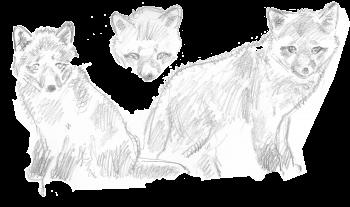 dessins de renardeaux