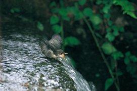 Le développement des jeunes cincles coïncide avec le réchauffement printanier de l'eau. Si à ce moment les proies sont abondantes dans la rivière, les parents auront tout de même fort à faire pour nourrir leurs cinq ados remuants dispersés au fil de l'eau. / © Daniel Magnin