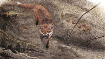 Rôdeur opportuniste, le renard peut manger de tout. Mais ce sont les campagnols qui forment en toute saison son plat de résistance.