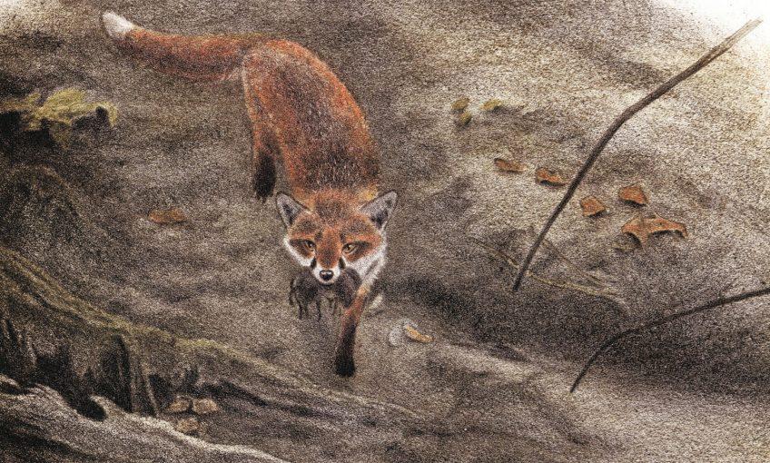 dessin d'un renard qui a capturé des campagnols