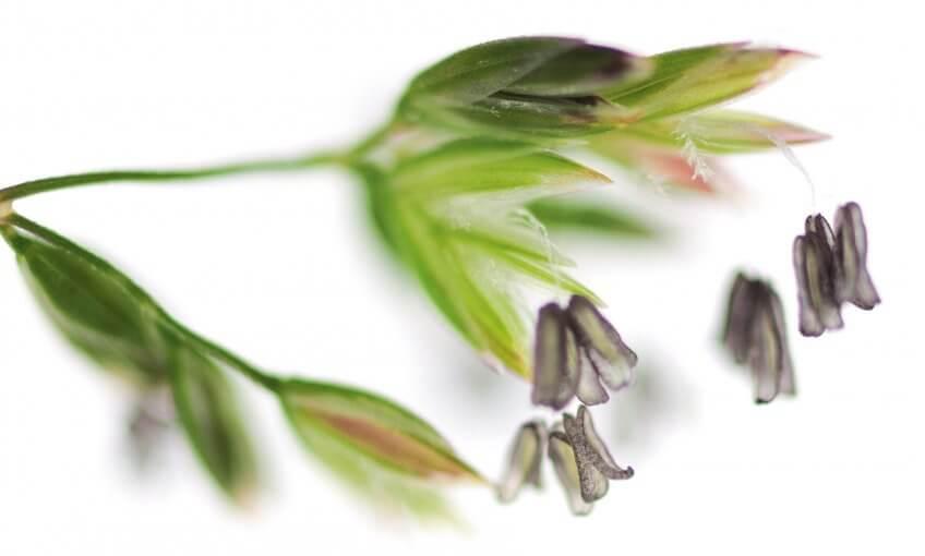 Fleur de graminée - La Salamandre