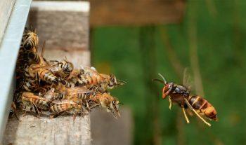 Abeilles domestiques défendant l'entrée de leur ruche contre un frelon asiatique.