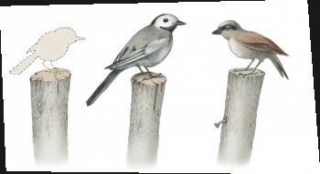 Pourquoi les oiseaux des champs disparaissent-ils ? - La Salamandre