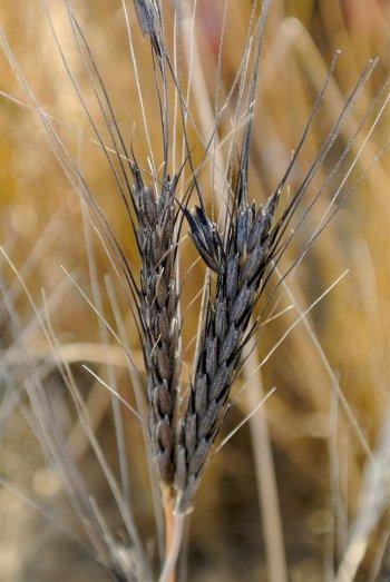 L'amidonnier, ancienne céréale cultivées en Egypte antique