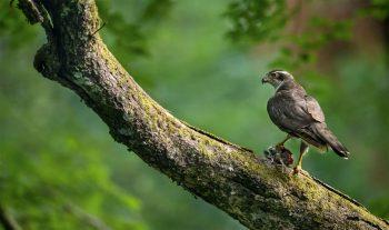 Autour des palombes mâle.  Forêt de Mayenne (Mayenne), le 28 juin 2017 à 20h54.