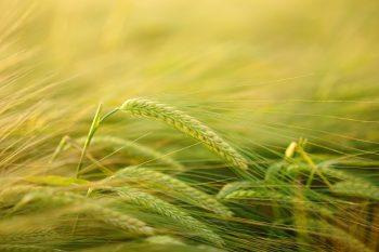 épis d'orge, une des premières céréales cultivées