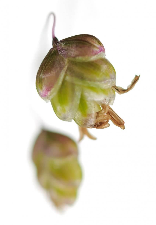 fleur de Brize intermédiaire - La Salamandre