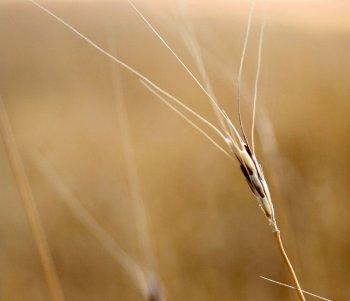 L'engrain, une des premières céréales cultivée par l'homme