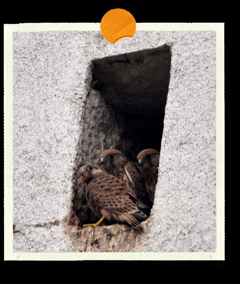 Faucons crécerelles au nid