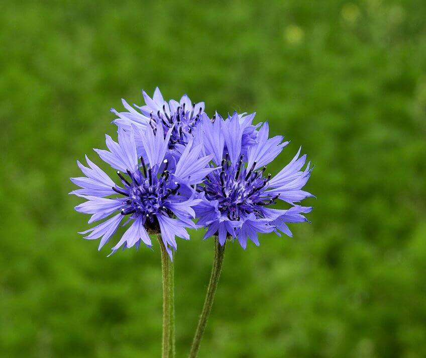 Le bleuet, une fleur typique des moissons.