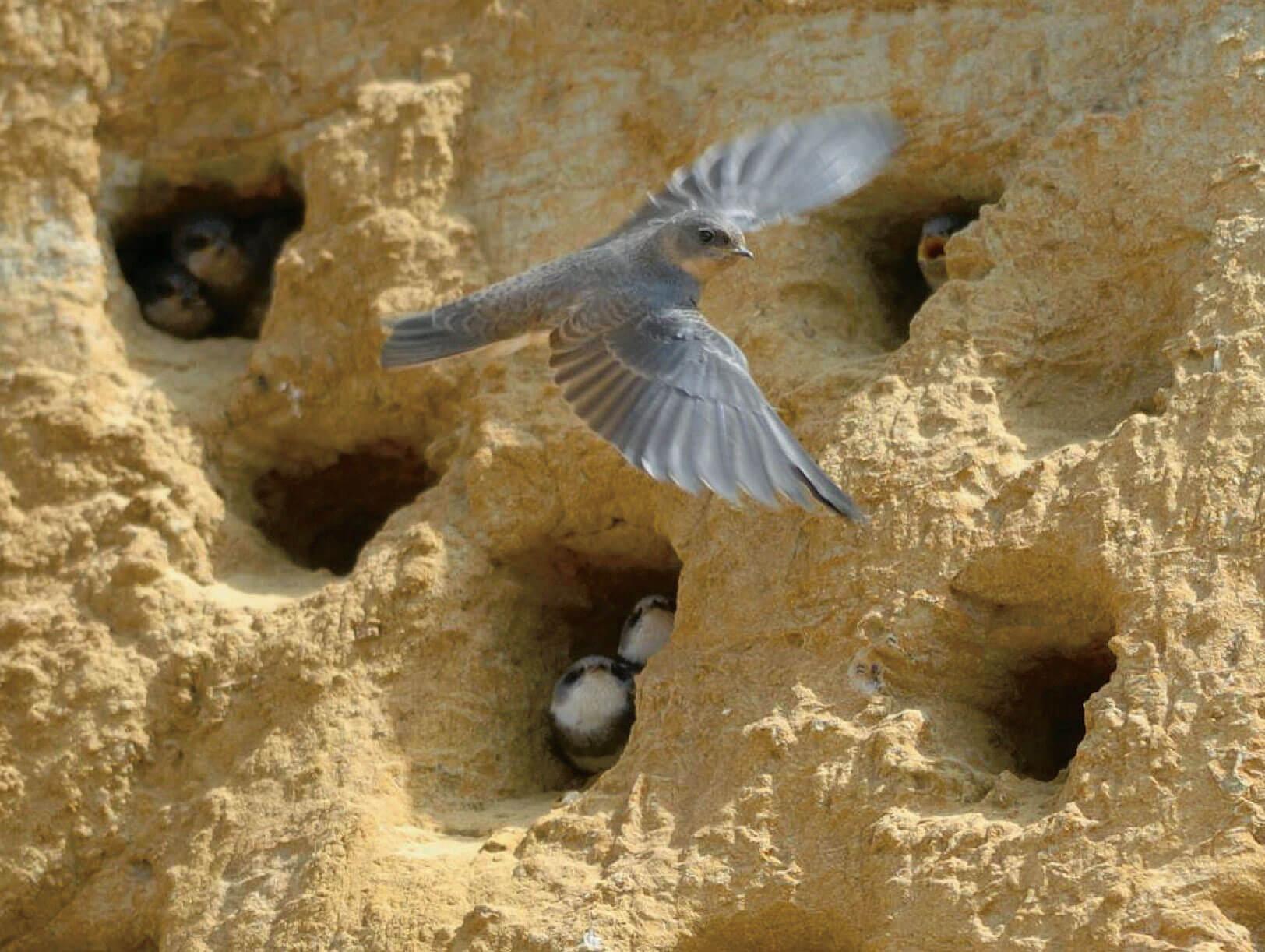 L'hirondelle de rivage, un oiseau à protéger en Belgique - La Salamandre