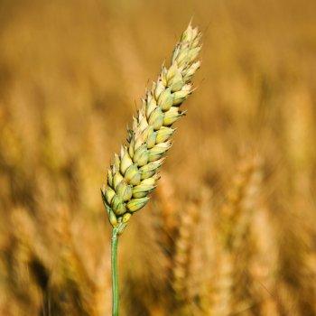 Le blé, cette fameuse graminée