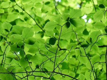 feuilles de charme