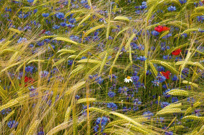 Plantes messicoles dans un champs de céréales