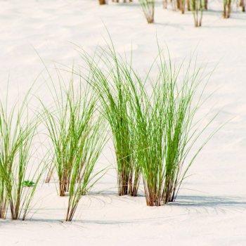 L'oyat, pionnière des dunes