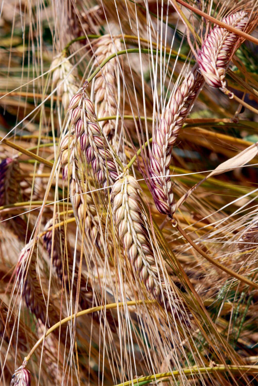 L'orge, la première céréale cultivée par l'homme
