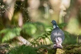 Pigeon ramier / © Eric Médard