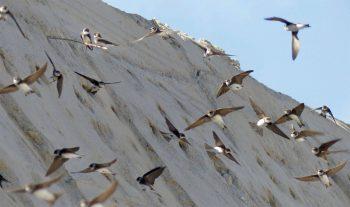 Pour accueillir les hirondelles à leur retour de migration, des travaux ont été entrepris sur les berges du Viroin en novembre dernier.