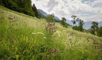 Prés fleuris dans l'Intyamon, au cœur de la Gruyère.
