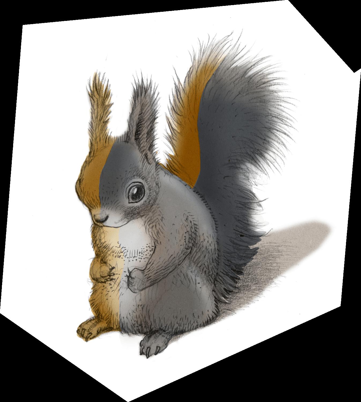 écureuil roux ou sombre