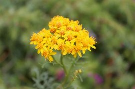 Séneçon à feuille d'adonis / © Fleur Daugey