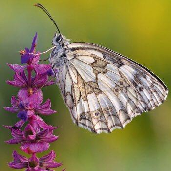 Simon le papillon demi-deuil