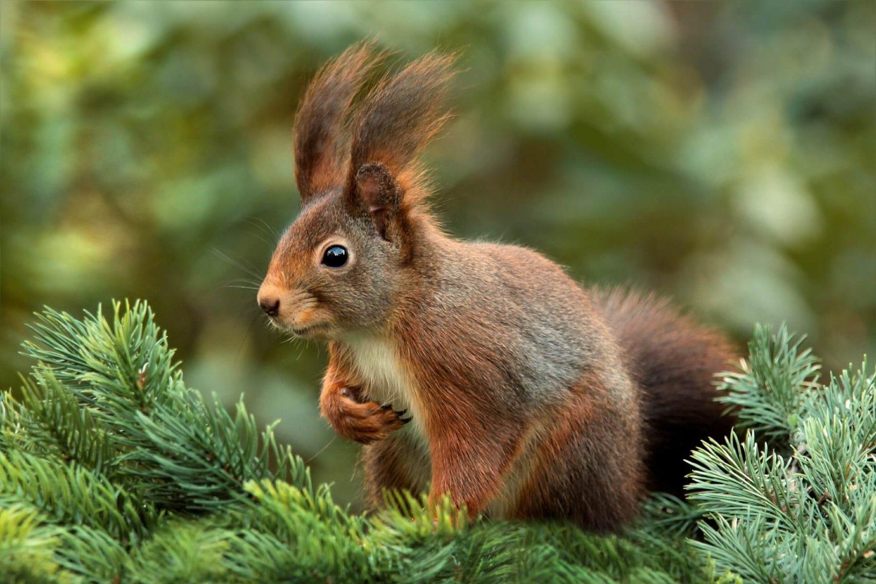 Quelle Robe Pour L écureuil La Salamandre