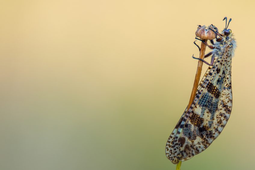 fourmilion - Palpares libelluloides