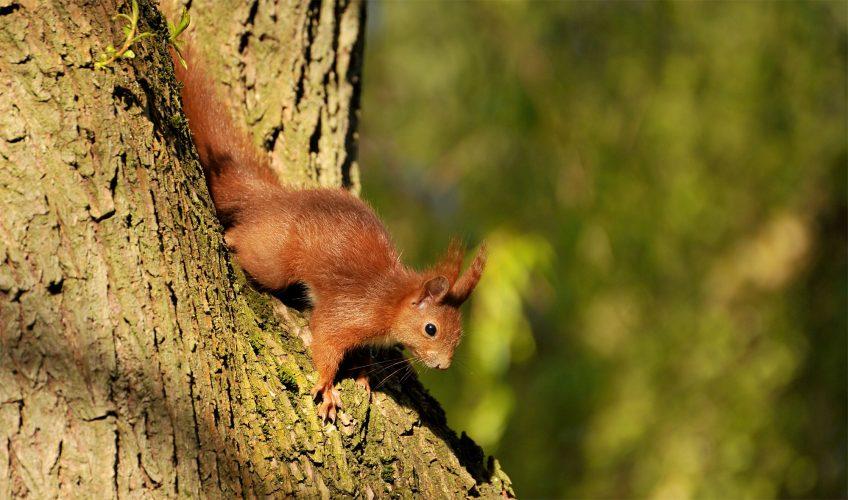 Pourquoi l'écureuil grimpe-t-il si bien aux arbres? - La Salamandre
