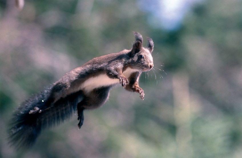 écureuil roux sombre - La Salamandre