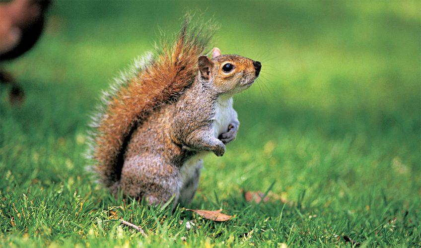 L'écureuil gris espèce invasive qui décime l'écureuil roux - La Salamandre
