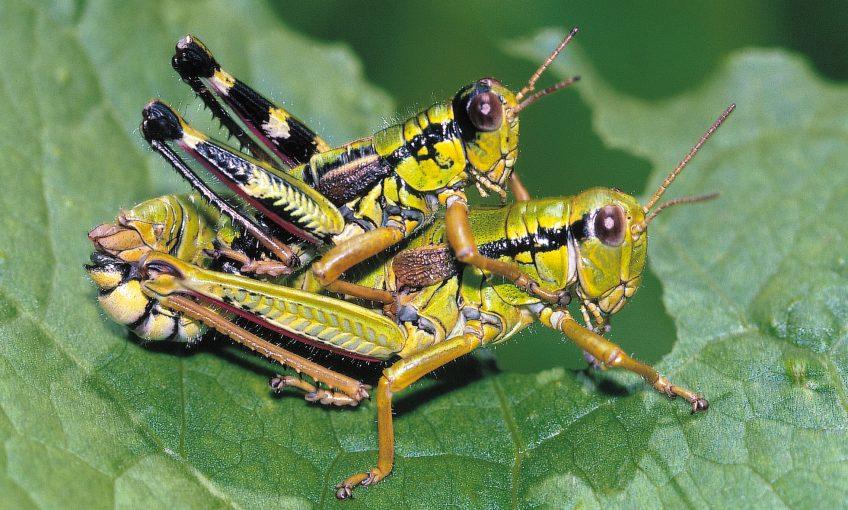 La reproduction des criquets et des sauterelles - La Salamandre