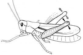 Le chant des criquets est produit chez la plupart des espèces par le frottement d'un archet sur une corde: la patte arrière munie de petites dents contre une nervure saillante de l'aile. / © Jérôme Gremaud