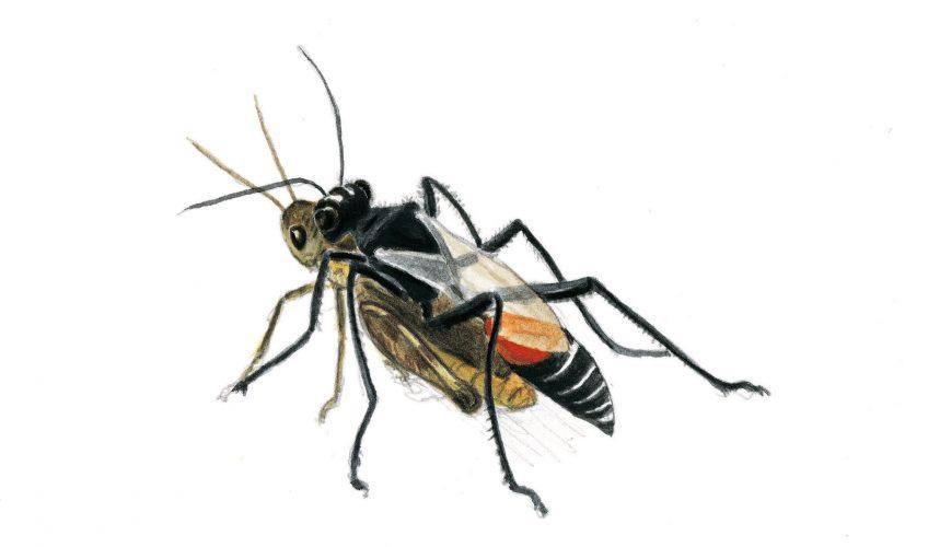 Le sphex une guêpe prédatrice de sauterelles - La Salamandre