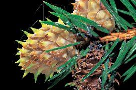 L'écureuil mange volontiers les «galles ananas» qu'il trouve au bout des rameaux. Ces déformations végétales abritent les larves d'un puceron qui pond ses œufs à la base des aiguilles. / © Gilbert Hayoz