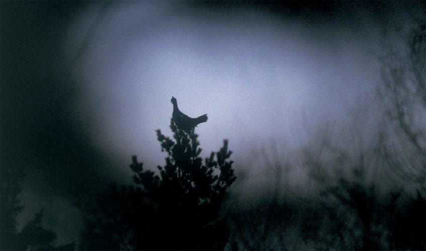 pourquoi le grand tétras se perche sur les arbres - La Salamandre