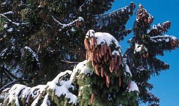Les écureuils profitent abondamment de l'épicéa en hiver, mais aussi en été. A la belle saison, quand la nourriture se fait rare, les rongeurs déterrent les cônes qu'ils ont enfouis en automne, ou s'attaquent aux cônes non encore mûrs.