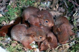 Les écureuils sont aveugles et nus à la naissance. A trois semaines, ils ont une fourrure. Leurs yeux s'ouvrent un peu plus tard. / © A. et j. visage - photo prise en captivité