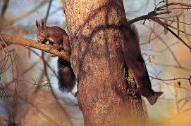 Les écureuils sont des animaux solitaires. Ce n'est généralement qu'à la saison des amours ou lors de l'émancipation des jeunes qu'on peut les voir à plusieurs dans les arbres. / © Vincent Munier