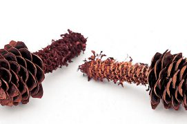 Les graines de l'épicéa sont nourrissantes, mais minuscules. Une maigre ration en regard de l'énergie dépensée pour les extraire! L'écureuil doit avaler chaque jour l'équivalent de 30 à 40 cônes d'épicéa et de 100 à 140 cônes de pin sylvestre. / © Gilbert Hayoz