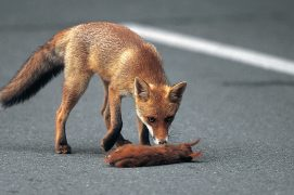 Les jeunes écureuils se font parfois écraser sur les routes quand ils se dispersent. En période de rut, les mâles oublient toute prudence. / © Manfred Danegger (SUTTER)