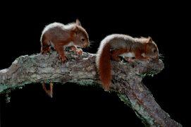 Les jeunes grandissent très vite. A 4 semaines, ils ressemblent déjà à des écureuils miniatures. Leurs pattes et leurs ongles paraissent démesurés. / © A. et j. visage