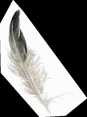 plume de grand tétras