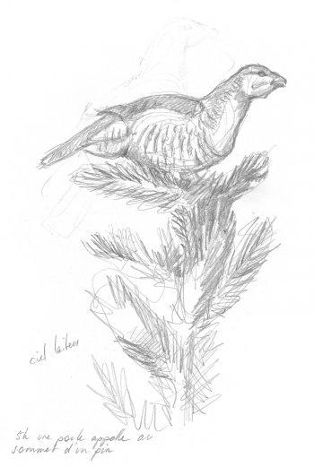 poule de grand tétras perchée sur un arbre