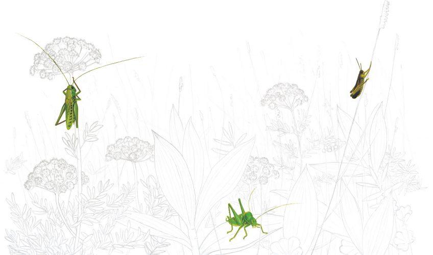 L'orchestre des sauterelles - La Salamandre