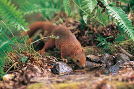 Moins en sécurité au sol qu'en hauteur, l'écureuil s'y attarde pourtant de longs moments pour boire. Et aussi pour chercher ou cacher de la nourriture. / © Erwan Balança